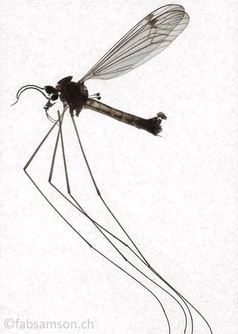 Moustique, 130x90cm